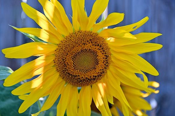 A little light on sunflower