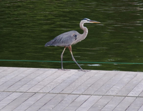 blue heron, water, Annapolis, Naval Academy