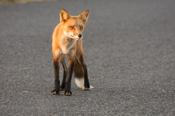 fox, American Camp, San Juan Islands, Washington