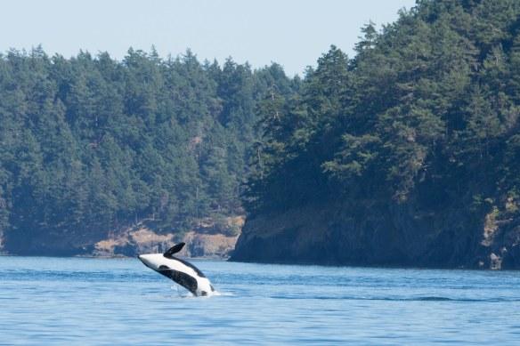 Orca breeching 2