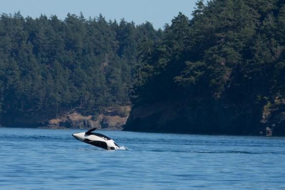 Orca Breeching 3