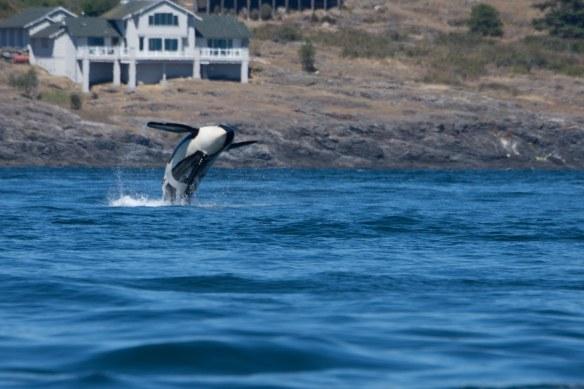 Orca Breeching