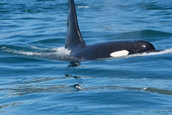 Orca surfacing 2